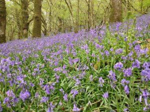 Woodleigh bluebells